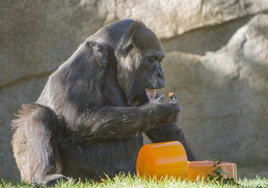 635557914277858747-AP-Gorilla-s-57th-Birthday.jpg